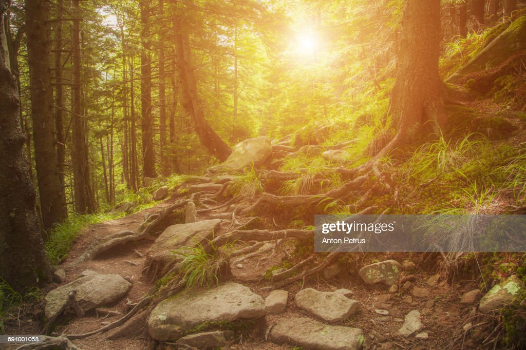 Sunny dawn in a foggy forest in spring : Stock Photo