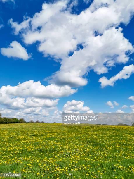 sunny day on meadow and dandelions. - bedektzadigen stockfoto's en -beelden