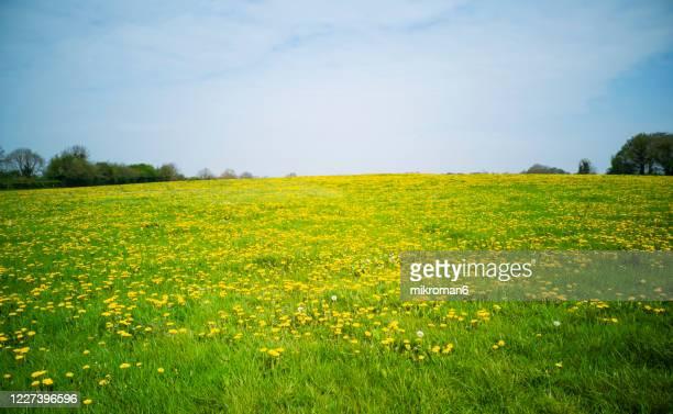 sunny day on meadow and dandelions. - wiese stock-fotos und bilder