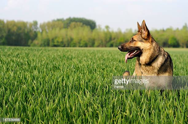sunny day - german shepherd stock pictures, royalty-free photos & images