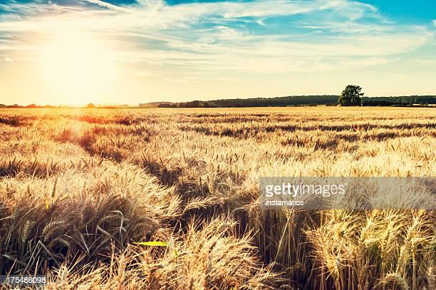 Sonnigen Abend grainfield