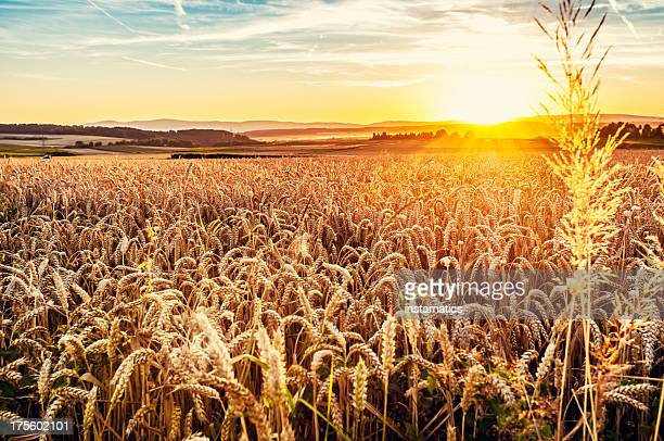 sunny evening grainfield - cereal plant stock pictures, royalty-free photos & images