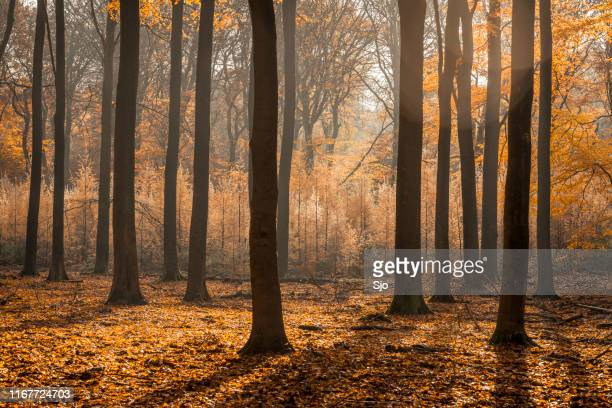 Sunny forest during a beautiful foggy fall day with brown golden leaves