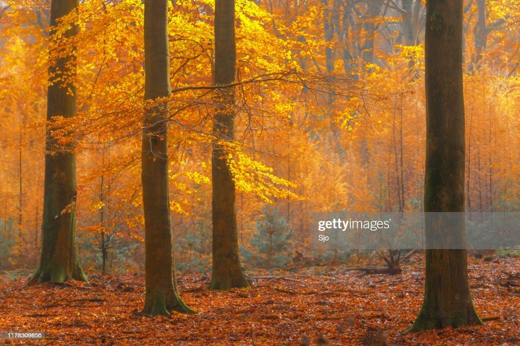 Bosque soleado durante un hermoso día de otoño brumoso con hojas doradas marrones : Foto de stock