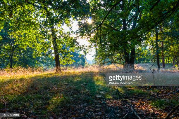 sunny forest - william mevissen stock pictures, royalty-free photos & images