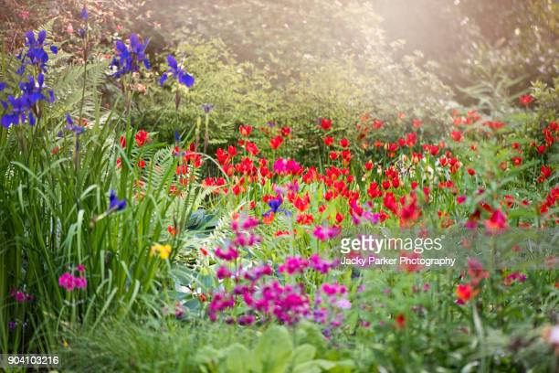 A sunny herbaceous border with vibrant red Tulipa sprengeri flowers
