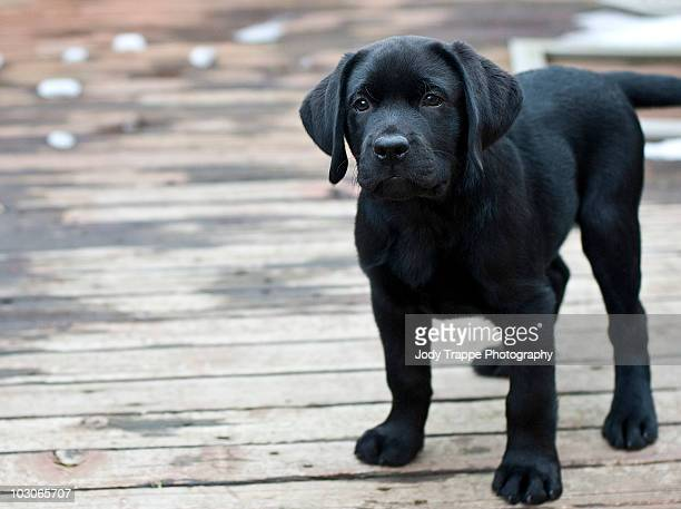 sunny- lab 9 wks - black labrador stock pictures, royalty-free photos & images