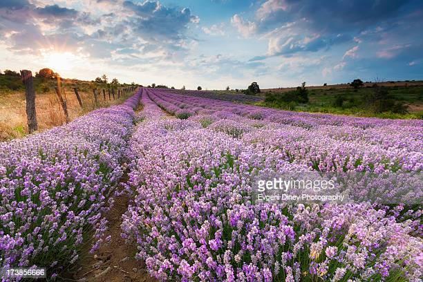 Sunny Lavender