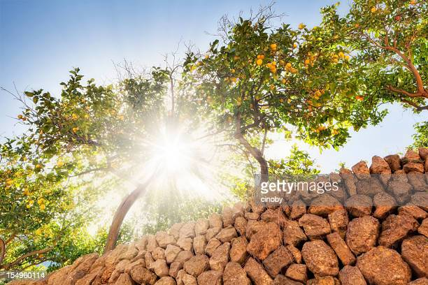 sunny lemon trees