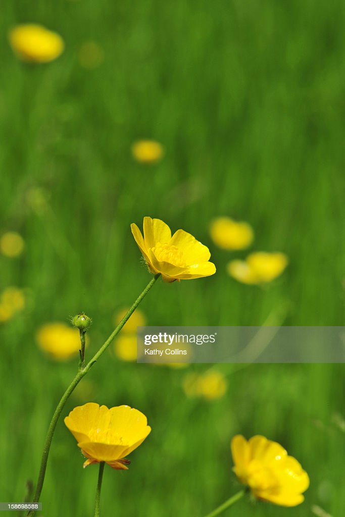 Sunny meadow buttercups amongst green grass : Stock Photo