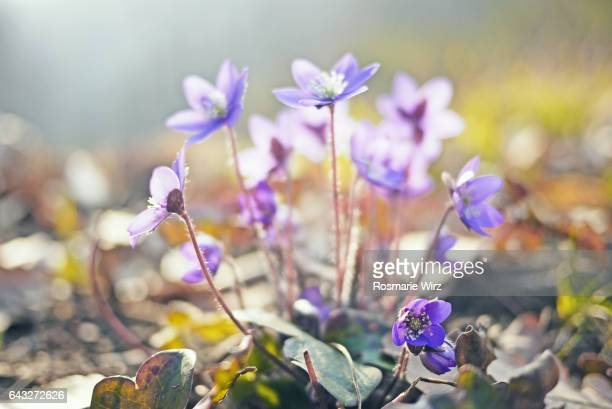 Sunny meadow with flowering liverworts (Anemone hepatica)