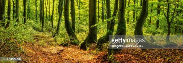 sunny natural beeches forest (fagus) with overgrown crooked trees, erzgebirge, czech republic - the slants stock pictures, royalty-free photos & images