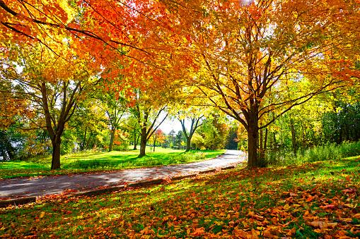 Sunny Path Through Sugar Maple Trees in Autumn 1054032452