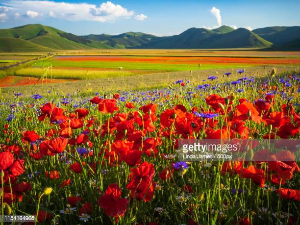 sunny poppies - castelluccio stock pictures, royalty-free photos & images