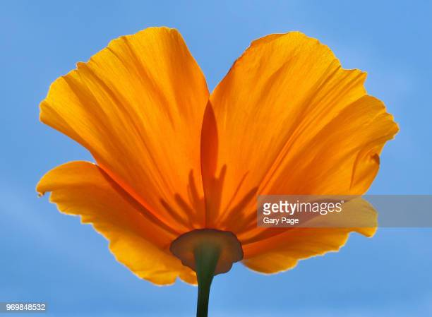 sunny poppy from below - california golden poppy stock pictures, royalty-free photos & images