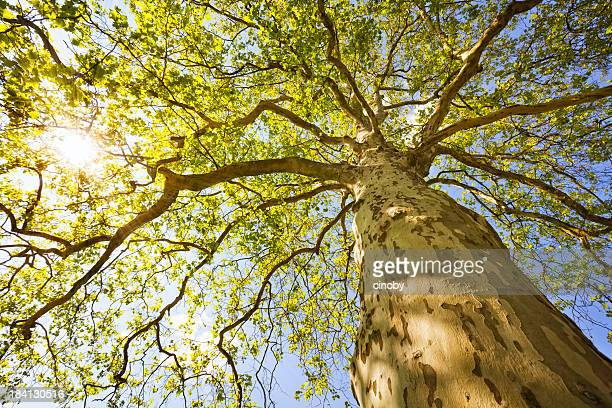sunny tree - treetop stock pictures, royalty-free photos & images