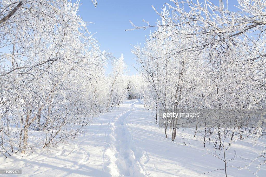 Soleado Día de invierno con nieve en el bosque de Islandia : Foto de stock
