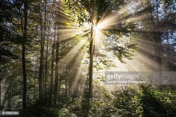 Sunray in a foggy forest