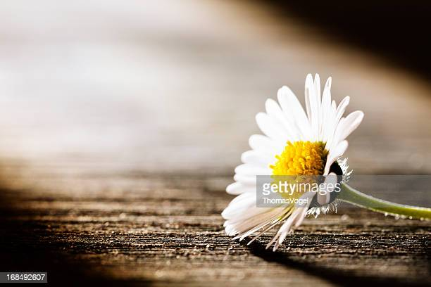 sunray on flower - daisy nature poem postcard - grief stock pictures, royalty-free photos & images