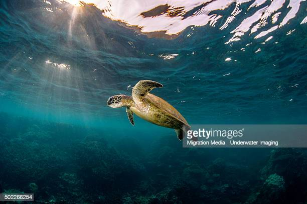sunray turtle - rare stock pictures, royalty-free photos & images