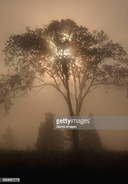 Sunrays through elm in fog
