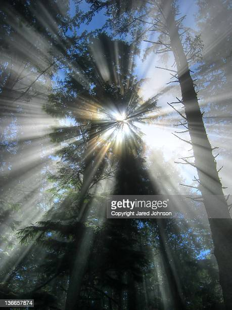 sunrays through tree - cape flattery stock photos and pictures