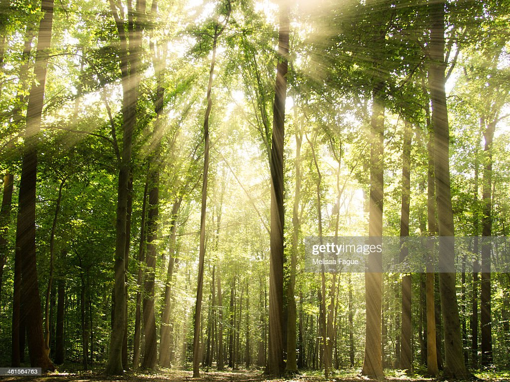 Sunrays Through Treetops : Stock Photo