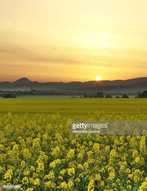 Sunrise above a rape field