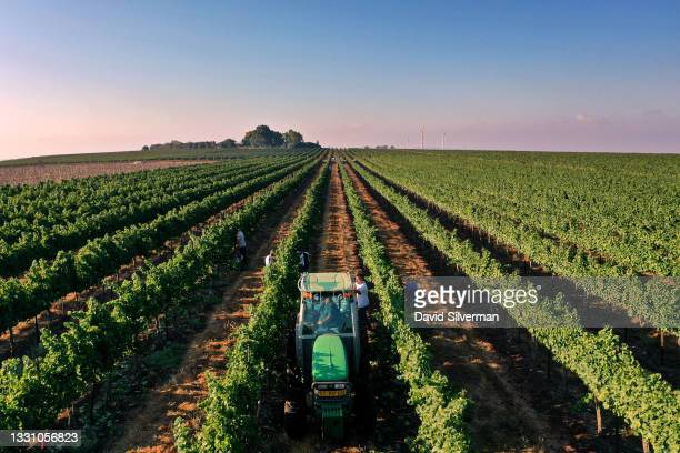 Sunrise aerial view of the Sauvignon Blanc white wine grape harvest on July 27, 2021 in Tabor Winery's Ramat Sirin ecological vineyard in northern...
