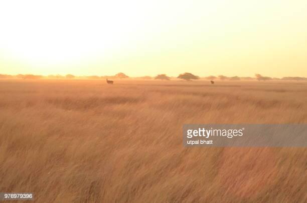 sunrise amongst the nilgai - nilgai fotografías e imágenes de stock
