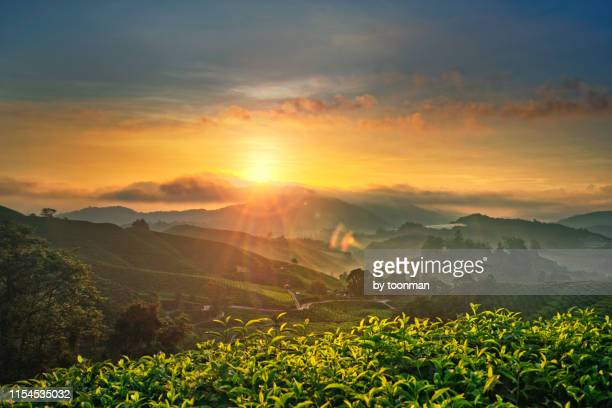 sunrise at cameron highlands, pahang, malaysia - plantation stock pictures, royalty-free photos & images