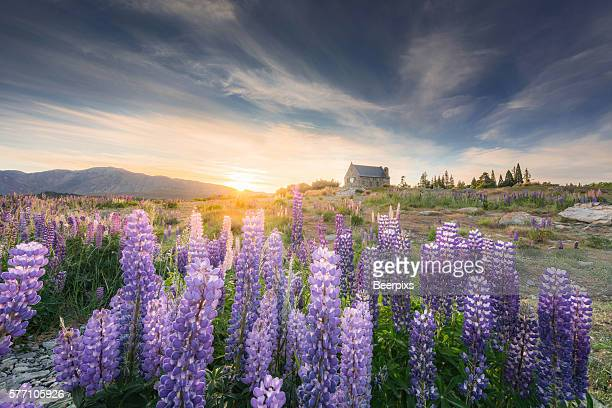 Sunrise at Church of the Good Shepherd with blooming lupine in Lake Tekapo in New Zealand.