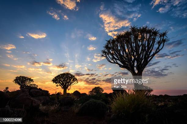 sunrise at quiver tree forest in namibia - köcherbaum stock-fotos und bilder