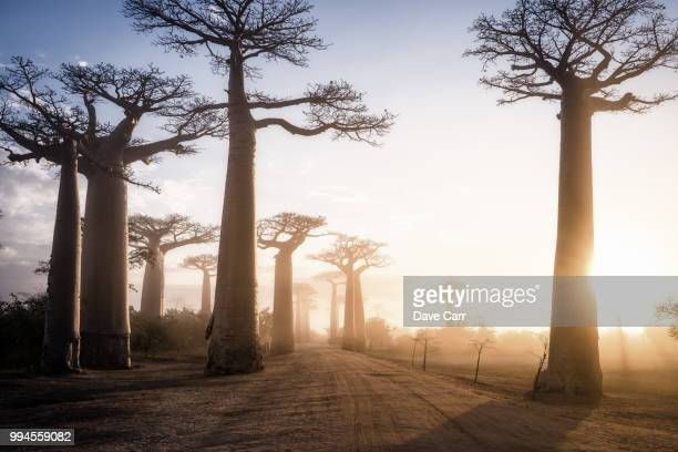 sunrise at the avenua de baobabs - avenue stock pictures, royalty-free photos & images