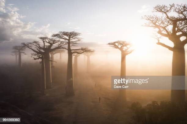 sunrise at the avenue de baobabs - afrique photos et images de collection