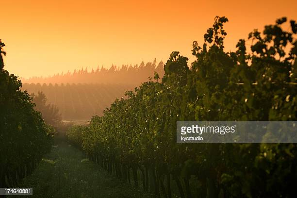 sunrise at the vineyard - uruguay stock pictures, royalty-free photos & images