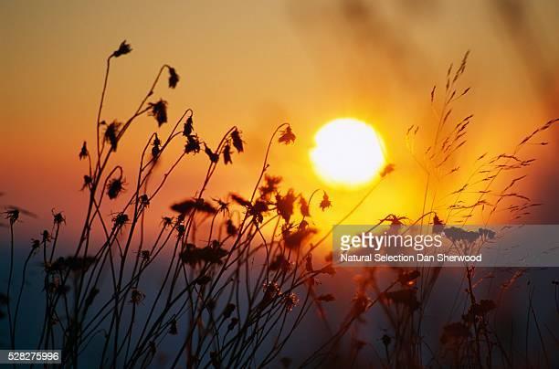 Sunrise Behind Tall Grasses