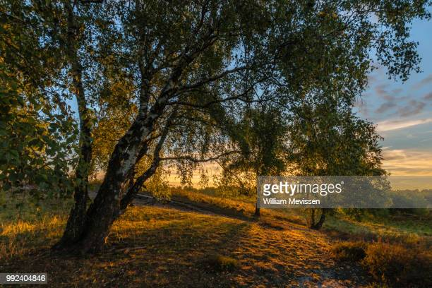 sunrise birches - william mevissen stock pictures, royalty-free photos & images