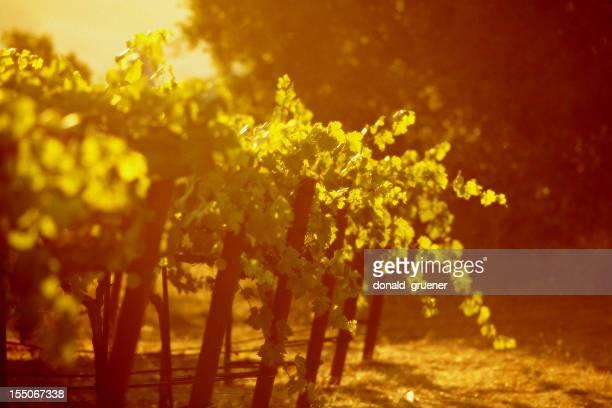 Sunrise Grapevines