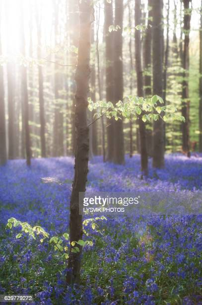 Sunrise Hallerbos with bluebell flowers