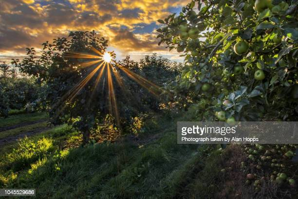 sunrise in a bramley apple orchard - orchard stockfoto's en -beelden