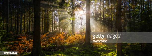 sunrise in idyllic forest clearing golden ray illuminating woodland panorama - forest stock pictures, royalty-free photos & images