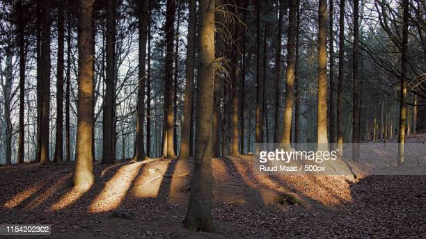 sunrise in rode bos (forest) at teuven belgium - bos stock pictures, royalty-free photos & images