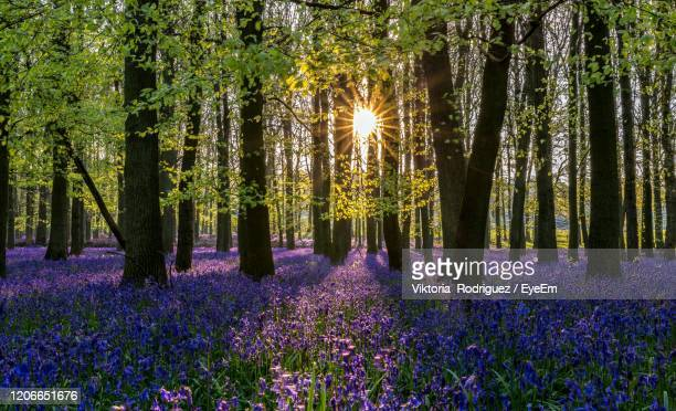 sunrise in the bluebells wood - luton stock pictures, royalty-free photos & images