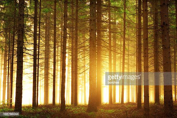 sunrise in the forest - wilderness area stock pictures, royalty-free photos & images