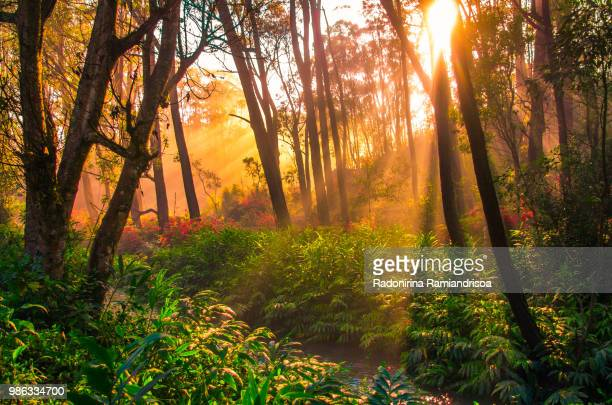 sunrise in the forest - madagascar stock photos and pictures