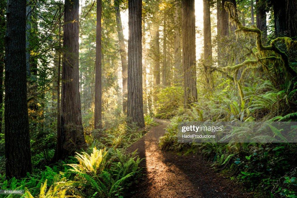 Sunrise in the redwoods : Stock Photo