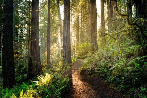 Sunrise in the redwoods 913546552