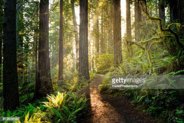sunrise in the redwoods - forest stock pictures, royalty-free photos & images