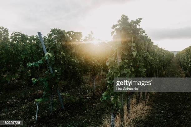 sunrise in the vineyard - baden württemberg imagens e fotografias de stock